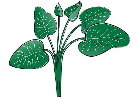 spinat: Spinat Illustration