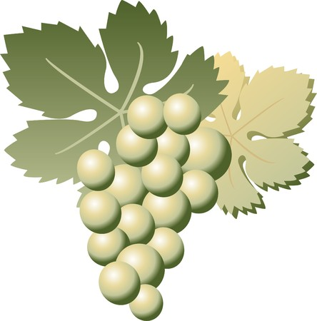 cluster of green grapes Vector