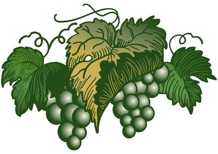 Bunch of green grapes Stock Vector - 7694334