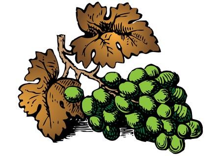 sommelier: grapes Illustration