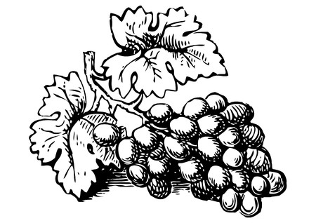 grapes on vine: grapes Illustration