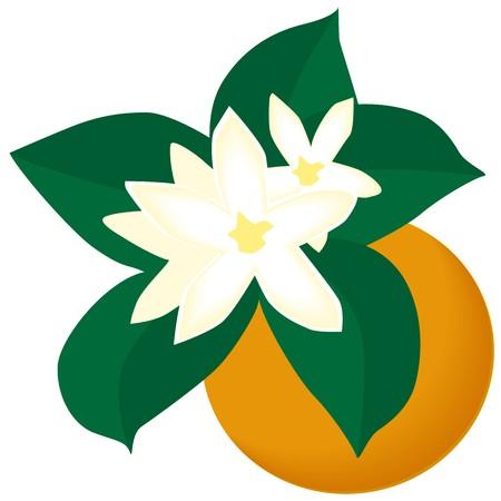 orange blossom Stock Vector - 7739549