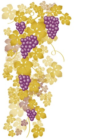 Vine with white grapes Vector