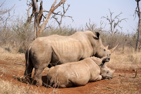 rhino mother and calf Stock Photo - 8376455