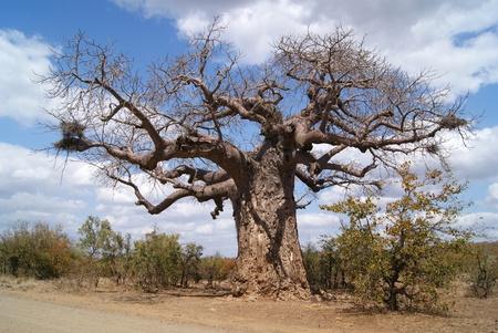 tree Boabab photo