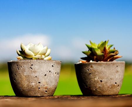 cactus species: Cactus in cement vase
