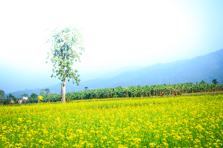 mustard field: The landscape view with people working  on the mustard field in Chitwan,Nepal.
