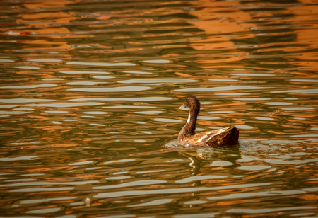 fulfill: A Duck is going alone  to reach his destination and fulfill his dream.