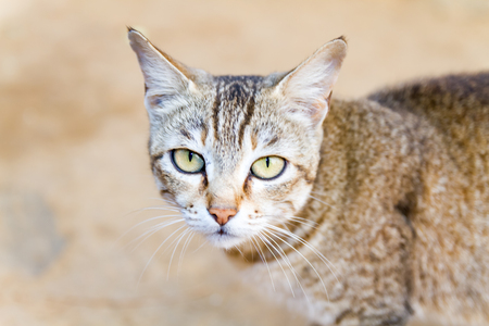 himalayan cat: Cute Himalayan domestic baby cat or kitten posing for photographs.