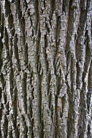 bark background texture: unique high resolution Himalayan Tree bark background texture or pattern
