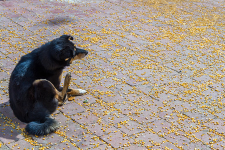 Black dog on the surface of scattered Maize or Corn.Maize was given to the Pigeons at the Temple. Stock Photo