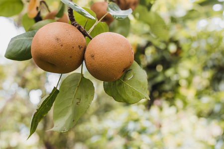 Organic Ripen Nashi Pears ready to pick in the himalayas,Gorkha Nepal 写真素材