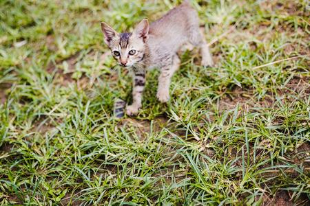 Close up of Cute Nepali Little kitten playing on the grass