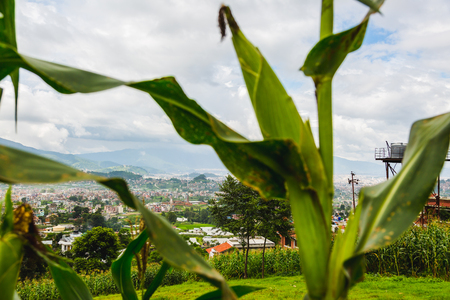Corn Cob growing in kathmandu nepal,corn cob with beautiful scenery.