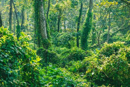 Dense Jungle,Subtropical dense forest of Nepal.Tropical Rain forest pattern or background. 版權商用圖片