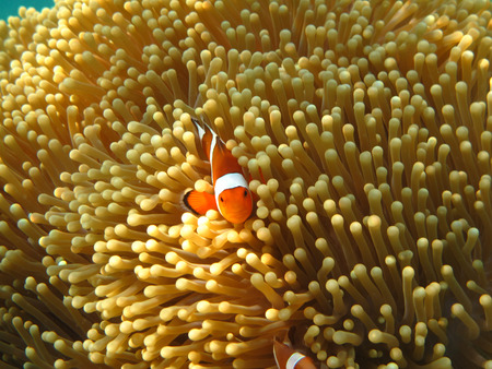 anemonefish: Crownfish or Anemonefish, well known as Nemo, in Sea Anemone Stock Photo