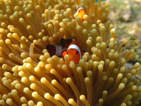 Crownfish or Anemonefish, well known as Nemo, in Sea Anemone Stock Photo