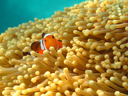 Crownfish or Anemonefish, well known as Nemo, in Sea Anemone photo