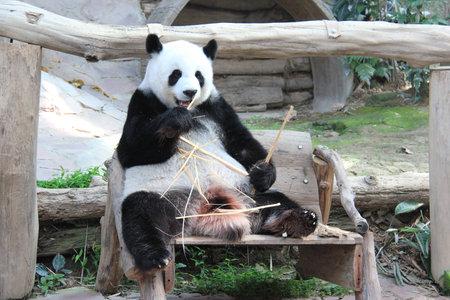 Giant Panda, named Lin Hui, in Chiangmai Zoo, Thailand photo