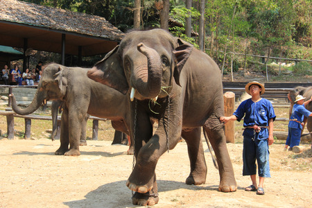 Elephant Dancing at Elephant Show in Chiangmai, Thailand