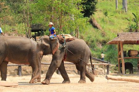 Elephant Dragging a Log in Chiangmai, Thailand