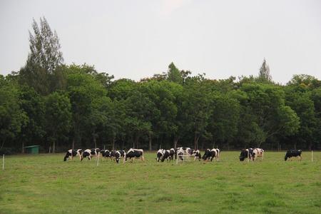 Koeien grazen op groen gras weide