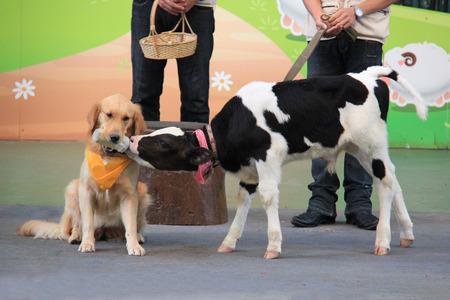 tame: Un perro domesticado es la alimentaci�n de un peque�o becerro adorable beb� de la botella.