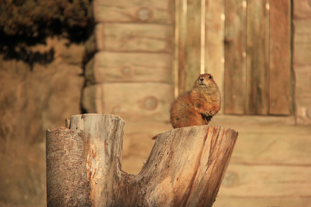 Adorable little brown squirrel is standing on a log. photo