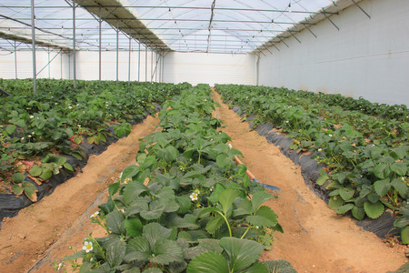 Greenhouse with young strawberries plants photo