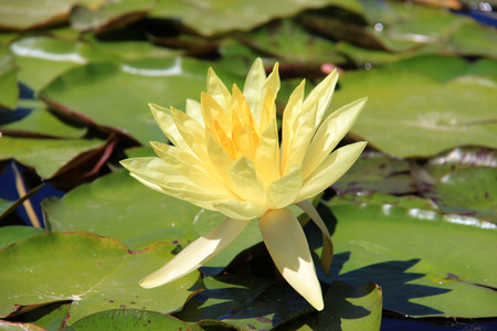 Blooming Yellow Lotus in Natural Pond photo
