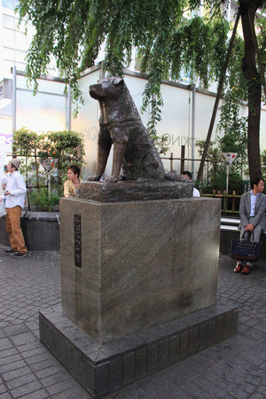 remarkable: Tokyo, Japan - May 29, 2013: Statue of Hachiko, an Akita dog which is remembered for his remarkable loyalty to his owner, is a popular meeting spot at the Shibuya Station.