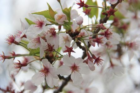 divulge: Beautiful Blooming Cherry Blossom Stock Photo