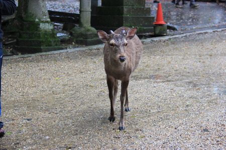 messengers: Deers, considered in Shinto to be messengers of Gods, have become a symbol of Nara, Japan, and designated as a natural treasure.