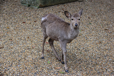 designated: Deers, considered in Shinto to be messengers of Gods, have become a symbol of Nara, Japan, and designated as a natural treasure.