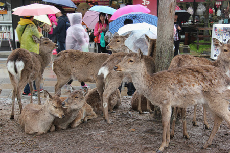 messengers: Nara, Japan - April 10, 2015: Deers, considered in Shinto to be messengers of Gods, have become a symbol of Nara, Japan, and designated as a natural treasure.