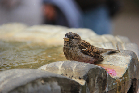 quacking: Adorable Little Brown Sparrow standing at a fountain