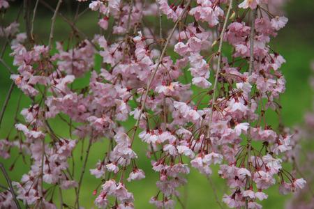 divulge: Beautiful Cherry Blossom at a Garden