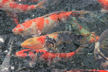 aquarium visit: Fancy Carp Pond in Japanese Style Garden