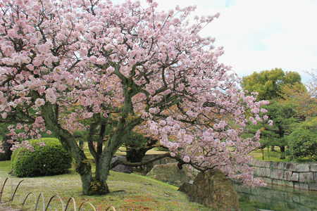 divulge: Beautiful Cherry Blossom Tree at a Garden
