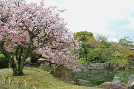 nijo: Beautiful Cherry Blossom Tree at a Garden