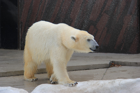largely: Polar Bear is a carnivorous bear whose native range lies largely within the Arctic Circle.