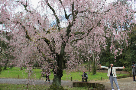 flatland: Kyoto, Japan - April 11, 2015: Tourists are taking photos with cherry blossom tree at Nijo Castle, a flatland castle in Kyoto, Japan. Editorial