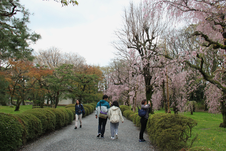 flatland: Kyoto, Japan - April 11, 2015: Tourists are taking photos of cherry blossom tree at Nijo Castle, a flatland castle in Kyoto, Japan.