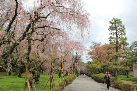 divulge: Kyoto, Japan - April 11, 2015: Tourists enjoy sceneyr of cherry blossom trees at Nijo Castle, a flatland castle in Kyoto, Japan.