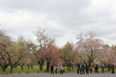 flatland: Kyoto, Japan - April 11, 2015: Tourists are taking photos of cherry blossom trees at Nijo Castle, a flatland castle in Kyoto, Japan.