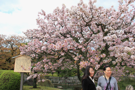 flatland: Kyoto, Japan - April 11, 2015: Tourists are taking photos with cherry blossom tree at Nijo Castle, a flatland castle in Kyoto. Editorial