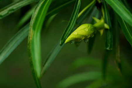 Thevetia peruviana or yellow oleander or lucky nuts with water droplet after raining in a garden with space for write wording, useful herbal tree or fruit for curing many symptoms such as skin illness
