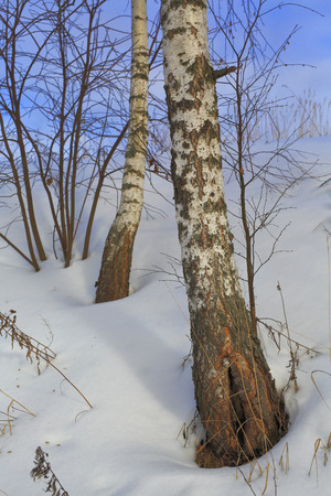european white birch: Winter birch forest, tree, snow, nature, spring