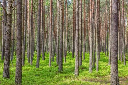 森林緑の木々 夏に松の木