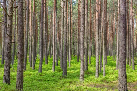 Pine bomen in het bos groene bomen zomer